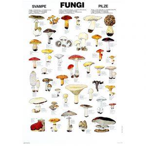 Plansje sopp 70 x 100cm. Flott plakat som inneholder 41 av de vanligste soppartene i Europa og Nord Amerika. Navn på 7 språk, inkl Norsk og latin.