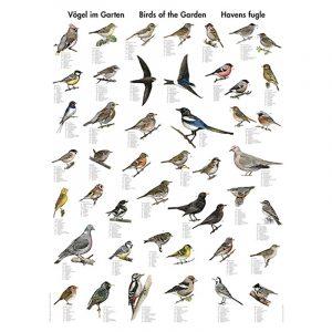 Plansje med småfugler 70 x 100cm. Flott plakat som inneholder 40 av de vanliste artene i Europa og Nord Amerika. Navn på hele 14 ulike språk, inkl. norsk og latin.