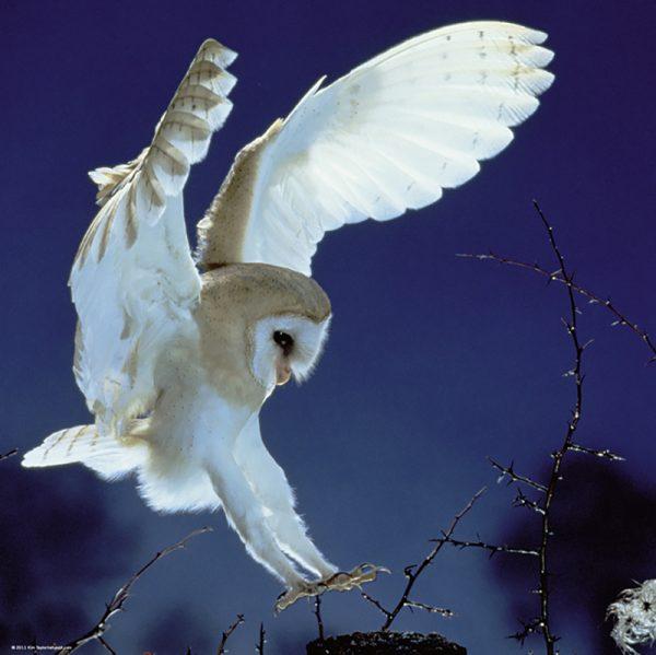 Puslespill Barn Owl 1000 biter / brikker. Tårnugle i svevet. Natur. Pusslespill fra Heye Puzzle.